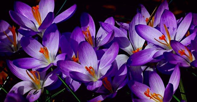 Saffron for export